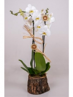 doğal kütükte iki dallı orkide